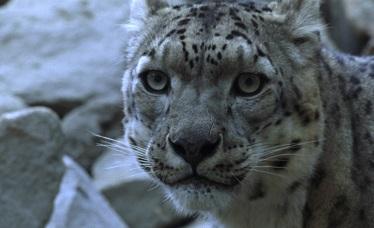 Snow Leopard Trust Livestock Insurance Program